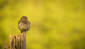 Little owl. A wild little owl isolated against a natural background with room for text Stock Photography