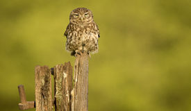 Little owl. A wild little owl sitting on an old farm gate post Royalty Free Stock Photos