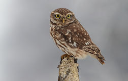 Little owl in winter. Near forest stock photo