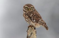 Little owl in winter Stock Photo