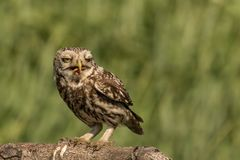 Little owl witha worm. This is a photograph of a little owl which has just caught a worm stock image