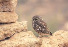 Little Owl (Athene noctua) on dry stone wall Stock Photos