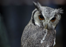 A little owl. With yellow eyes and with small black and white feathers royalty free stock images