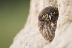 Little Owl. A young little owl peeking out of his hole stock photography