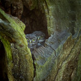 Little Owls Royalty Free Stock Photography