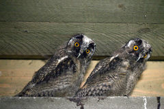 Little owls. With yellow eyes staring Royalty Free Stock Images