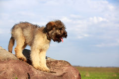 Little pale yellow briard Stock Image