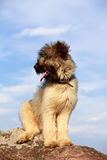 Little pale yellow briard Stock Photography