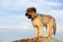 Little pale yellow briard Royalty Free Stock Photography