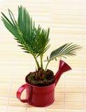 Little Palm Chrysalidocarpus Areca Stock Photography
