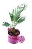 Little Palm Chrysalidocarpus Areca Stock Images