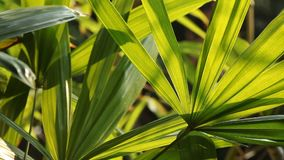 Little palm leaves and sunlight in the evening. Natural light background stock video