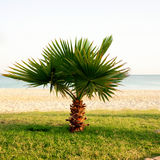 Little palm tree on the beach. Royalty Free Stock Images