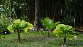 Little Palm Trees in the Tropical Garden. A shot of three small palm trees in a tropical garden. Giant bamboos can be seen in the background. there also is a stock video footage