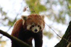 Little panda in a tree in the zoo from rotterdam Royalty Free Stock Photos
