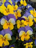 Little pansy flowers growing in a garden stock photos