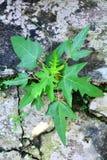 Little papaya tree Stock Images