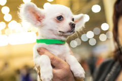Little papillon puppy in the groomers hands stock photography