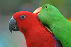 Little Parrots. Royalty Free Stock Image