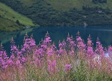 Little pasture rose at lake Engstlensee Stock Photo