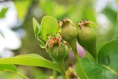 Little pears grow Stock Photo
