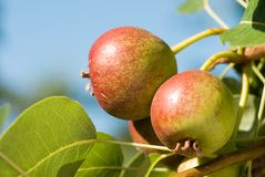Little pears on tree branch. Unripe pears on tree. Pears in garden. Summer fruits royalty free stock photos