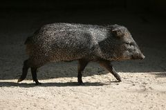 Little Pecari pig walking Stock Photo