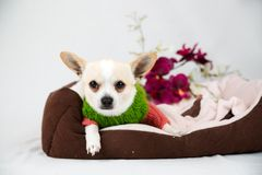 Little pedigreed dog Royalty Free Stock Images