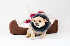 Little pedigreed dog Stock Photo