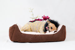 Little pedigreed dog Royalty Free Stock Photos