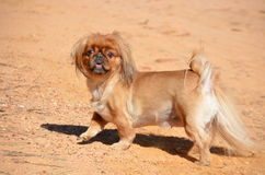 Little pekingese. Female pekingese playing outside stock images