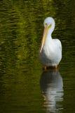 Little Pelican Royalty Free Stock Photos