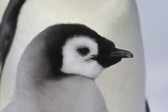 Little Penguin. A closeup view of the head of a little Emperor Penguin baby Royalty Free Stock Image
