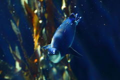 Little penguin in dark-blue underwater scenery Royalty Free Stock Photography