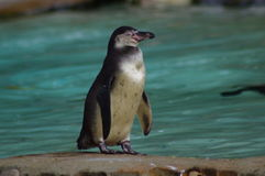 Little Penguin. Eudyptula minor standing on rock looking to the right in enclosure in London Zoo Royalty Free Stock Photo