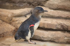 Little penguin in Gold Coast, Australia Royalty Free Stock Images