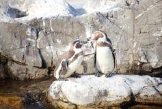Little Penguin Stock Photo