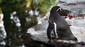 Little penguin stock video footage
