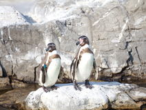 The little penguin Stock Photo