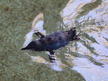 Little Penguin swimming Stock Photography