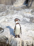 The little penguin Royalty Free Stock Photos