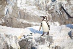 The little penguin Stock Photos