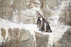 The little penguin Royalty Free Stock Photo