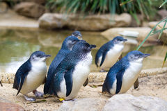 Little Penguins, Australia. Little Penguins in Featherdale Wildlife Park in Australia. The Little Penguin (Eudyptula minor) is the smallest species of penguin Stock Photography