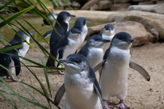 Little Penguins Marching Royalty Free Stock Photos