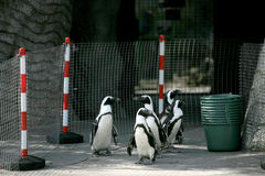 Little penguins. Walking in the zoo Stock Photos