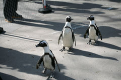 Little penguins. Walking in the zoo Stock Images