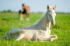 Little perlino akhal-teke foal laying on a pasture Stock Photo