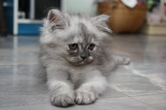 Little Persian cat. Royalty Free Stock Images