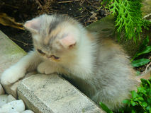 The little persian cat playful. In thailand Royalty Free Stock Photography